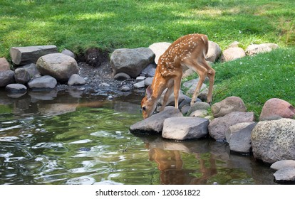 Whitetail deer fawn takes a drink from a pond.  Partial reflection seen.  Summer in Wisconsin