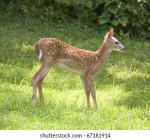 whitetail deer fawn this is in the sun
