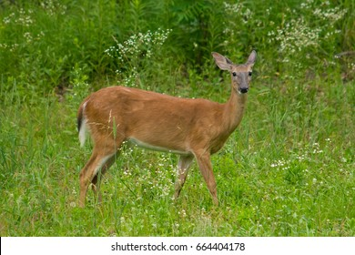 The Whitetail Deer in the Field