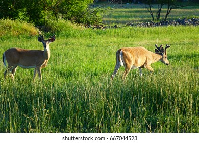 White-Tail Deer grazing in a meadow near Missoula, Montana.