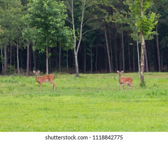Whitetail deer growing small antlers standing in a field in North Carolina