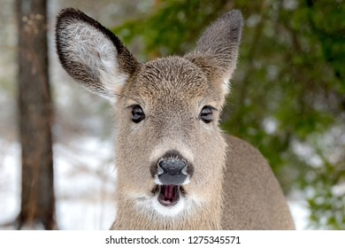 A whitetail deer with her mouth open. Closeup view, she is looking at the camera. It is lightly snowing. Focus is on her eyes.