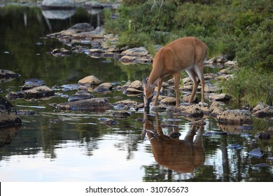 Whitetail Deer in Northern Maine