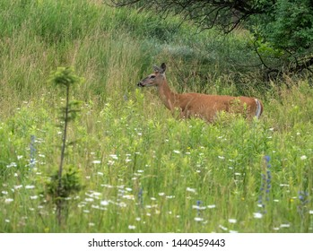 Whitetail deer in a northern woodland in mid-summer