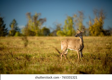 Whitetail Deer in an open field with a blue sky.