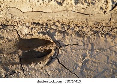 Whitetail deer print in mud