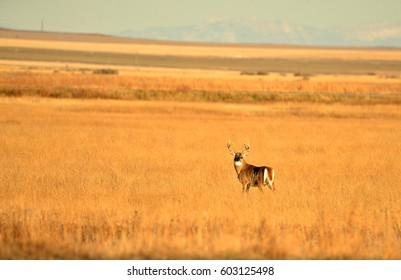 Whitetail Deer standing in a meadow