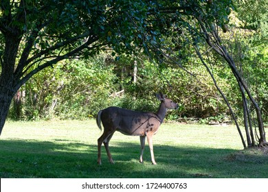 Whitetail deer standing under pear tree with hanging pears in fall in Pennsylvania