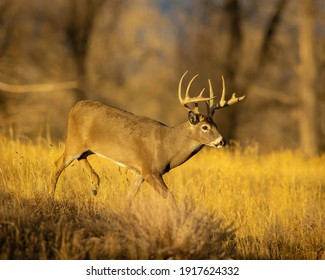 Whitetail Deer Trophy Buck in Fall