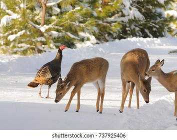 Whitetail deer and wild turkey in the snow looking for something to eat