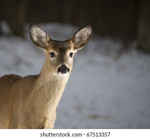 Whitetail deer yearling coming into the strobes in snow