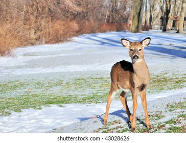 Whitetail deer Yearling standing out in the open in a park.