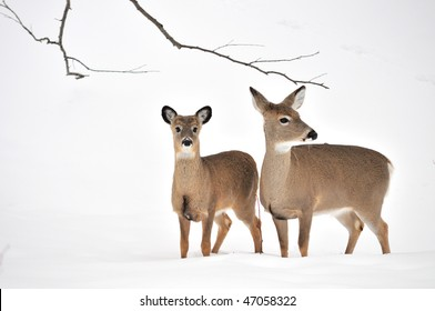 Whitetail deer yearling standing in the woods in winter snow with doe.