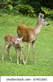 whitetail doe on grass along with a young fawn