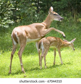 whitetail doe taps its fawn to get it moving