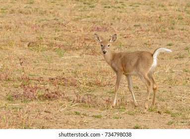Whitetail fawn after it has lost its spots ready for the winter