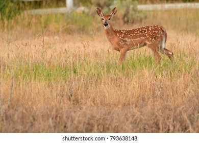 Whitetail Fawn Deer in a grass meadow