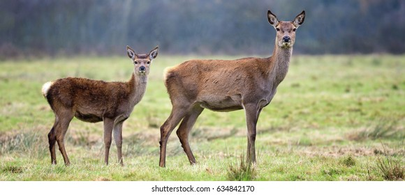 Whitetail fawn and its doe in a thick forest