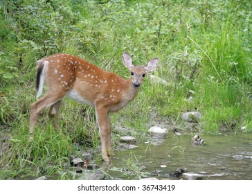Whitetail fawn gets a drink