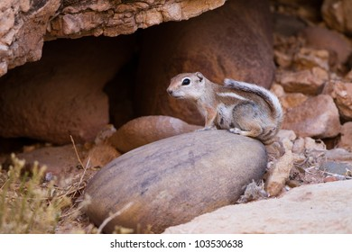 White-tailed Antelope Squirrel lives in rocks at Lee's Ferry, Arizona, near the junction of the Paria and Colorado Rivers