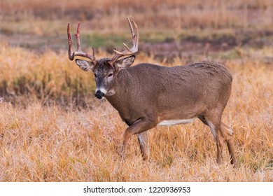 White-tailed Buck With Blood Stained Antlers - Wild Deer In the Colorado Great Outdoors