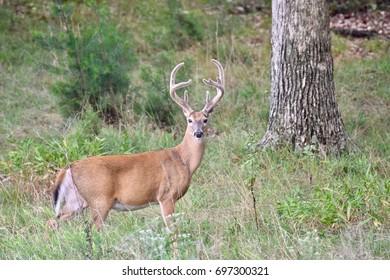 White-tailed buck deer (Odocoileus virginianus) in velvet