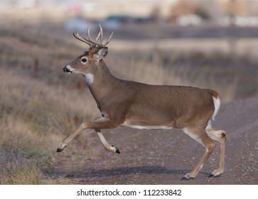White-tailed Buck Deer runs across a dirt road; whitetail / white tail / white-tail / whitetailed / white tailed