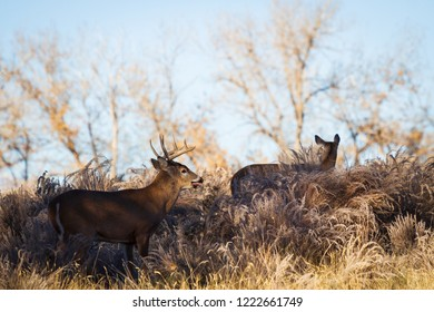 White-tailed buck and doe on a Winter's Morning - Wild Deer In the Colorado Great Outdoors