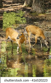 White-tailed buck and doe at the side of a lake.