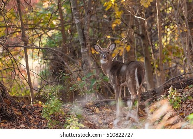 A whitetailed buck walks through the woods.