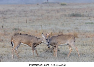 White-tailed Bucks Wild Deer In the Colorado Great Outdoors