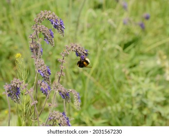 White-tailed bumblebee feeding on blue nodding sage, Salvia nutans, pendant flowers. Bumblebee is an important pollinator. Its global decline is a cause for concern