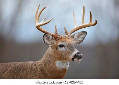 A White-tailed Deer