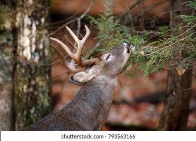 A White-tailed Deer actively working a rub