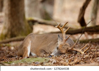 A white-tailed deer asleep in the woods.
