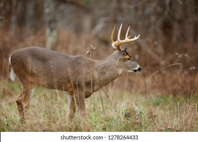 A white-tailed deer buck
