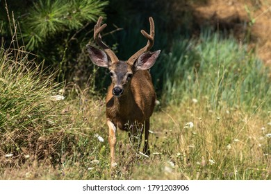 White-tailed deer buck with antlers in velver. Oregon, Ashland, Cascade Siskiyou National Monument, Summer