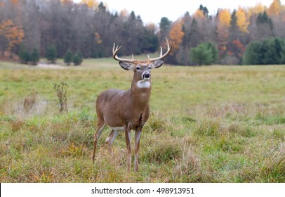 White-tailed deer buck in a autumn meadow