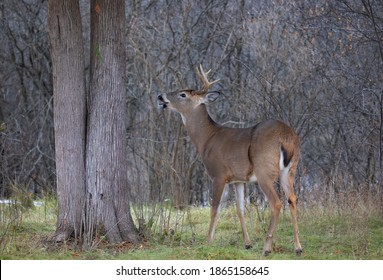 White-tailed deer buck closeup in a autumn meadow in Canada