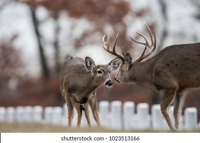 White-tailed deer buck and doe in the woods near Jefferson Barracks National Cemetery, St. Louis