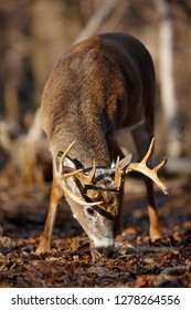 A White-tailed Deer buck feeding in the forest