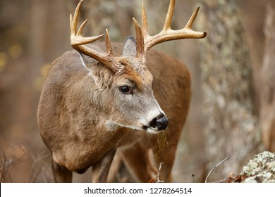A White-tailed Deer buck in the forest