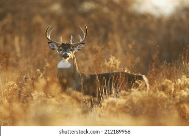 A white-tailed deer buck in golden light.