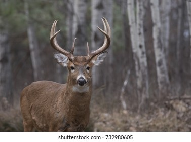White-tailed deer buck with huge antlers standing in the forest in Canada