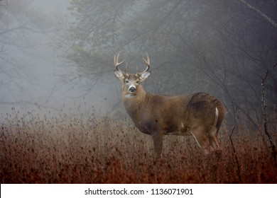 White-tailed deer buck with huge neck  and antlers standing on alert in the foggy woods during the rut in autumn in Ottawa, Canada