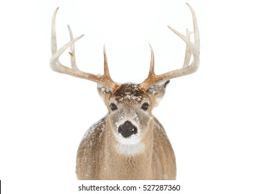 White-tailed deer buck isolated on white background with huge antlers in Canada