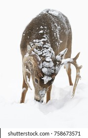 White-tailed deer buck isolated on white background feeding in the winter snow in Canada