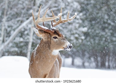 White-tailed deer buck isolated standing in the winter snow in Canada