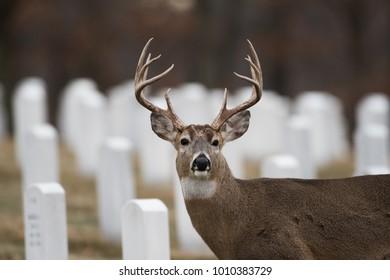 White-tailed deer buck in Jefferson Barracks National Cemetery, St. Louis