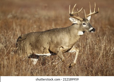A white-tailed deer buck leaping through tall grass.